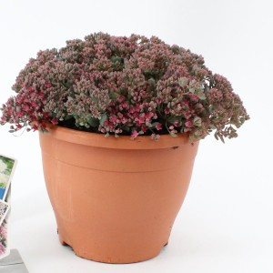 Sedum cauticola 'Lidakense' (About Plants Zundert BV)
