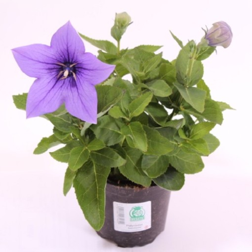 Platycodon grandiflorus 'Astra Blue' (Experts in Green)