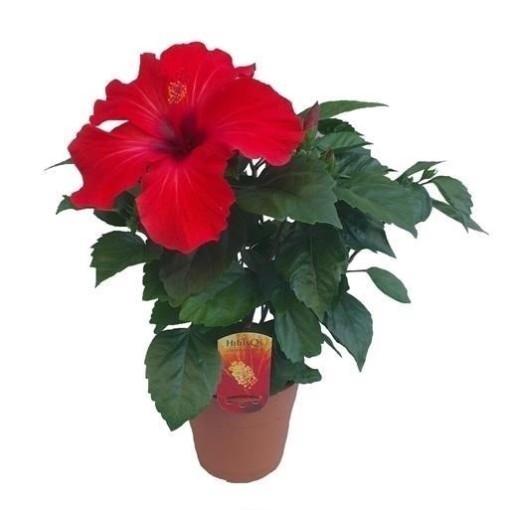 Hibiscus rosa-sinensis 'Volcano' (Wilgenlei b.v.)