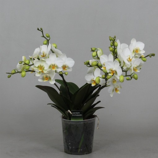 Phalaenopsis LAUSANNE (Leerdam Orchideeën)