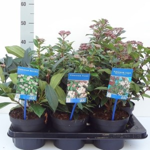 Viburnum MIX (About Plants Zundert BV)