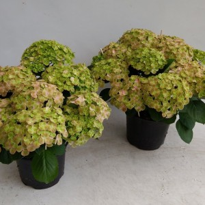 Hydrangea macrophylla HOVARIA SUMMERGREEN