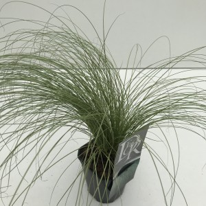 Carex comans 'Frosted Curls' (Cammeraat Potcultuur)