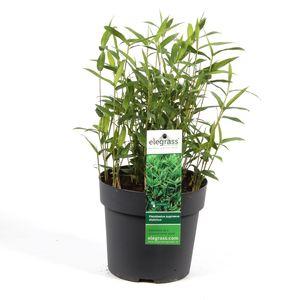 Pleioblastus pygmaeus distichus (Hoogeveen Plants)