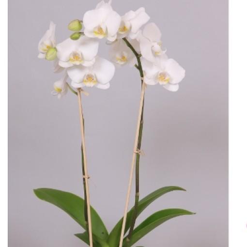 Phalaenopsis SALT LAKE (Bee-O)