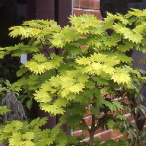 Acer shirasawanum 'Aureum' (Stervinou)