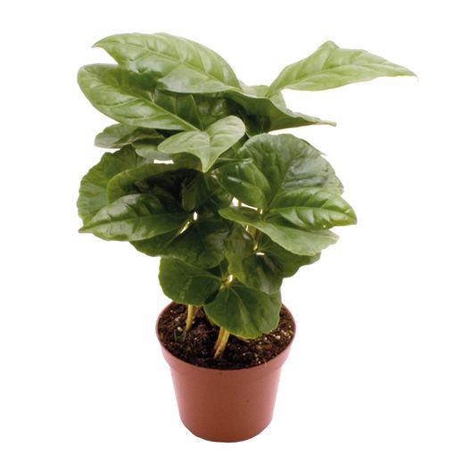 Coffea arabica (GASA Group)