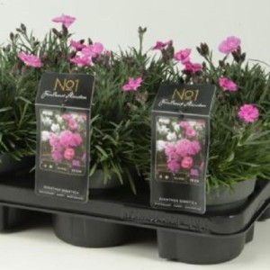 Dianthus gratianopolitanus 'Dinetta'