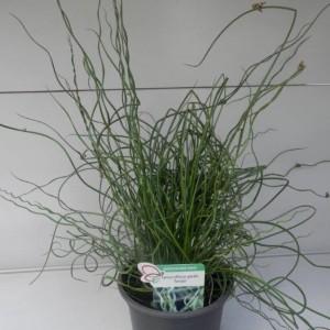 Juncus effusus 'Spiralis'
