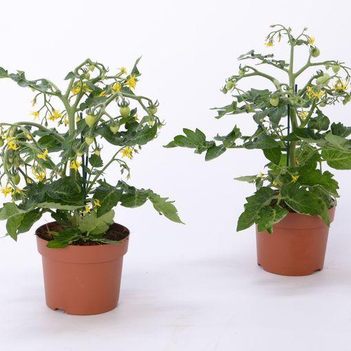 Solanum lycopersicum (Bunnik Plants)