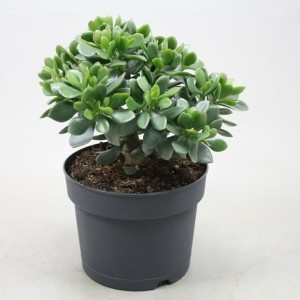 Crassula ovata 'Minova Magic'