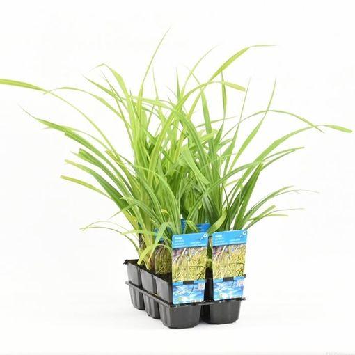 Carex pendula (Moerings Waterplanten)
