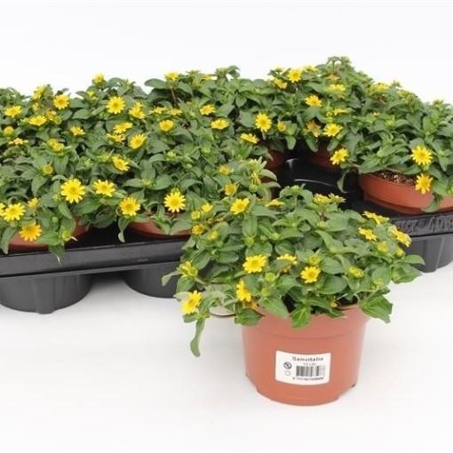 Sanvitalia procumbens (Gebr. Grootscholten)