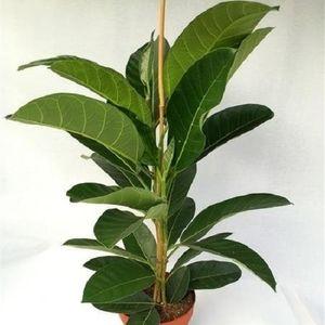 Ficus benghalensis 'Roy'