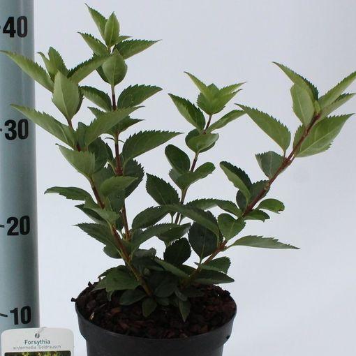 Forsythia 'Goldrausch' (About Plants Zundert BV)
