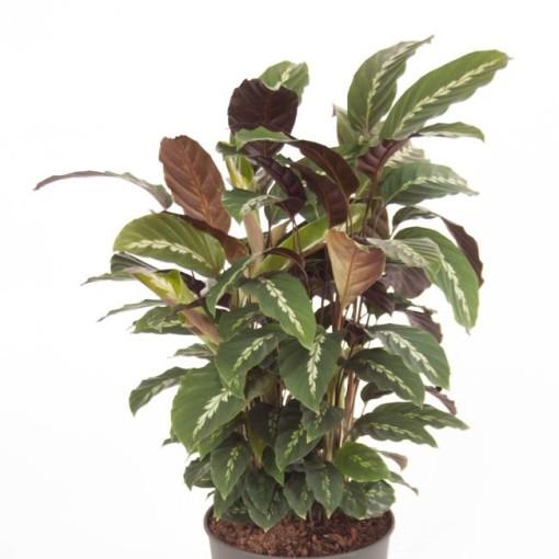 Calathea leopardina (Ammerlaan, The Green Innovater)