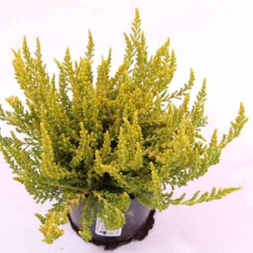Calluna vulgaris 'Boskoop' (Experts in Green)