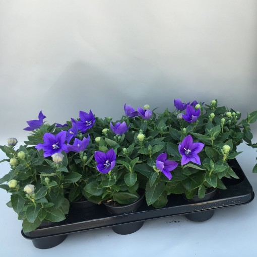 Platycodon grandiflorus 'Astra Blue' (Sonneveld Plants)