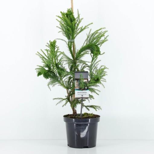 Cryptomeria japonica 'Cristata' (Bremmer Boomkwekerijen)