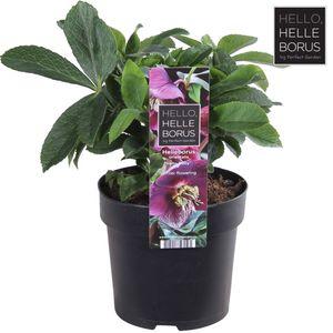 Helleborus orientalis HELLO RUBY