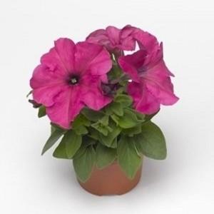 Petunia 'Duvet Rose'