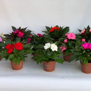 Impatiens NEW GUINEA MIX