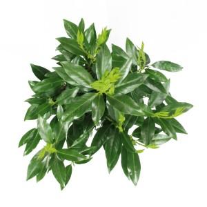 Prunus laurocerasus 'Herbergii' (Elst-Bevers)