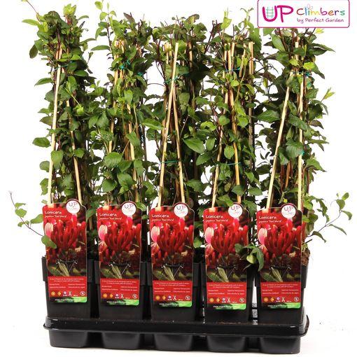 Lonicera japonica 'Red World' (Hoogeveen Plants)