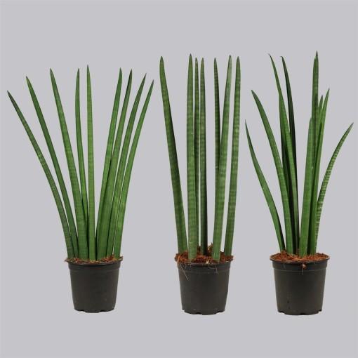 Sansevieria cylindrica MIX (Duijn-Hove B.V. , Kwekerij)