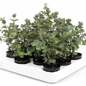 Eucalyptus gunnii 'Silver Drop'
