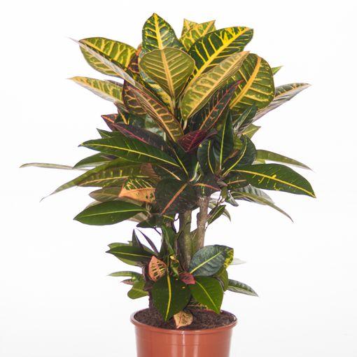 Codiaeum variegatum 'Petra' (Ammerlaan, The Green Innovater)