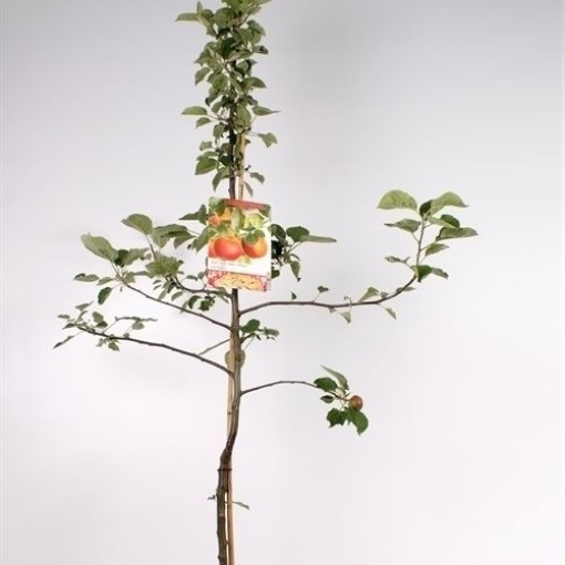 Malus domestica 'Rode Boskoop' (Fruithof)
