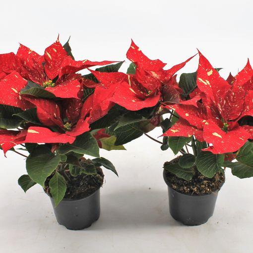 Euphorbia pulcherrima CHRISTMAS FEELINGS GLITTER (Knaap, Kwekerij Jan van der )