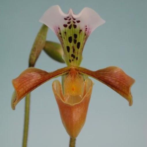 Paphiopedilum gratrixianum (Wichmann Orchideen e.K.)