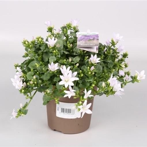 Campanula portenschlagiana AMBELLA WHITE (Endhoven Flowering Plants)