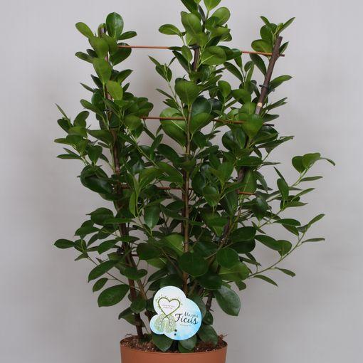 Ficus microcarpa 'Moclame' (Peeters Potplanten)