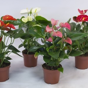 Anthurium MIX (Karma Plants)