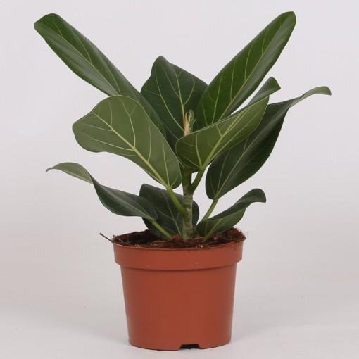 Ficus benghalensis 'Audrey' (Groot BV, Kwekerij J. de )