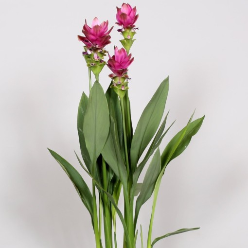 Curcuma alismatifolia 'Petra' (BK Plant)