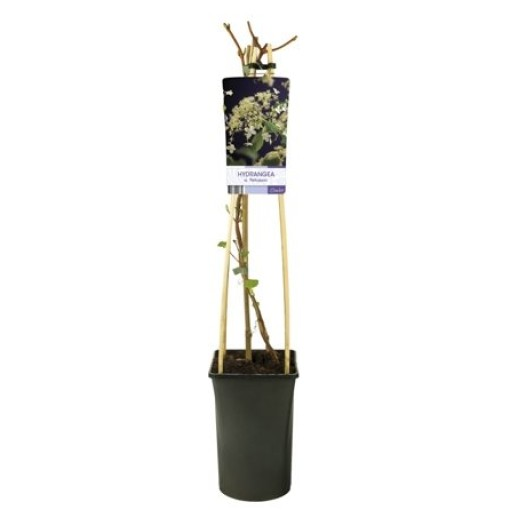 Hydrangea anomala petiolaris (Van Der Starre BV)