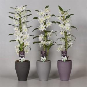 Dendrobium nobile STAR CLASS APOLLON (De Hoog Orchids)