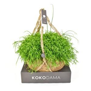 Rhipsalis cassutha (Kokodama)
