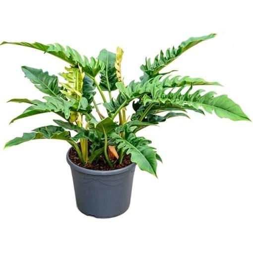 Philodendron 'Narrow' (Nieuwkoop Europe B.V.)