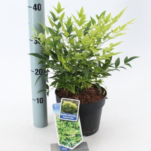 Nandina domestica 'Lemon Lime' (About Plants Zundert BV)