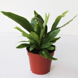 Microsorum punctatum 'Green Flame'