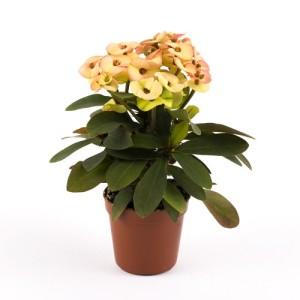 Euphorbia 'Hera'