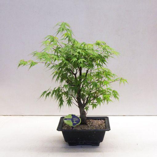 Acer palmatum 'Arakawa' (Lodder Bonsai BV)