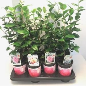 Camellia japonica MIX (Flora Toscana)