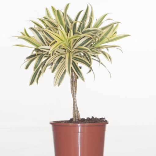 Dracaena reflexa 'Song of India' (Ammerlaan, The Green Innovater)