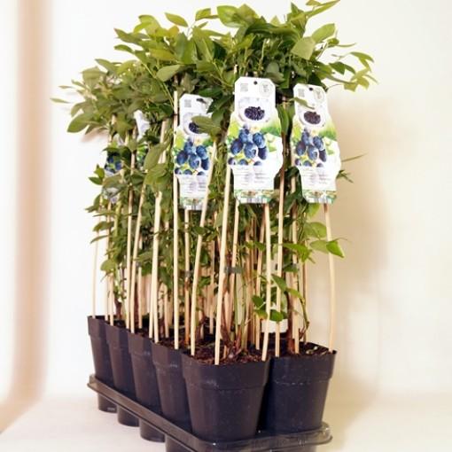 Vaccinium corymbosum 'Berkeley' (BOGREEN Outdoor Plants)